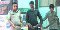 6-ft-long Indian Rock Python rescued in Vadodara village