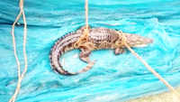 Trapped crocodile rescued from fish net in UP's Bahraich