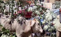 Hyderabad: DRF staff rescues cow from septic tank