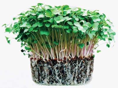 PLAN AHEAD: Grow microgreens
