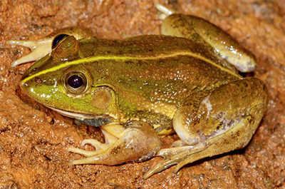 Scientists find new frog species
