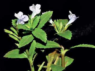 New plant species spotted in Konkan belt
