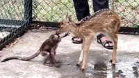 Nagpur: Abandoned fawn, infant monkey turn friends at Maharashtra forest dept's Transit Treatment Center