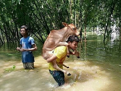 Fake alert: Photo of man carrying calf is not from Kerala, Bihar or Assam