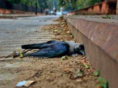 Dead crow samples in Navsari test positive