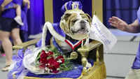 US: 3-year-old wins annual bulldog beauty contest