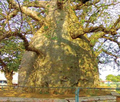The greenskeeper: The Big Baobabs of Savanur