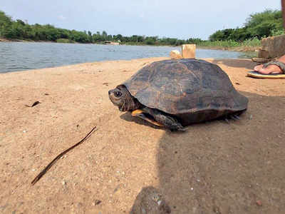 Indian Pond Terrapin rescued