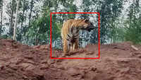 Tiger spotted near coal mine in Telangana's Komaram Bheem district, video goes viral