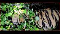 Tiger found dead in Maharashtra's Chandrapur