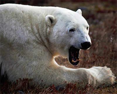 Travel: Walking with polar bears in Manitoba