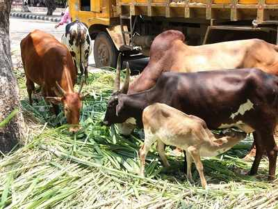 Stray animals crave for food as all food sources lockdown amid COVID-19