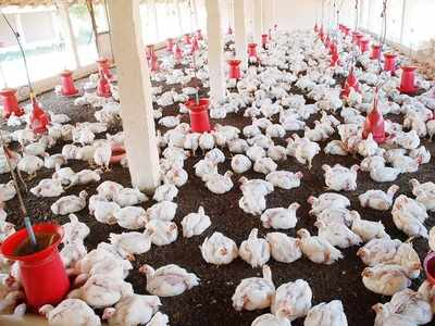 Poultry sector in Maharashtra faces Rs 100 crore loss in 15 days amid rumours over coronavirus scare