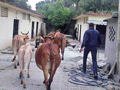 KCB tackles stray cattle problem at Range Hills