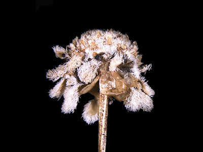 City scientists find new pipewort in K'taka