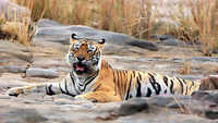 Around 2,000 tigers poached across globe in last 19 years, India tops list: Report