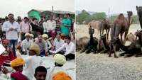 Locals demand better laws to protect camels in Rajasthan