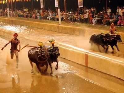 Kambala row: Supreme Court refuses to stay Karnataka's buffalo race