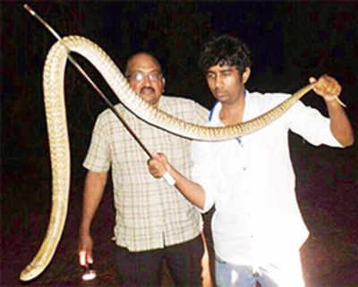 Family's horror as 6-ft cobra pops out of toilet
