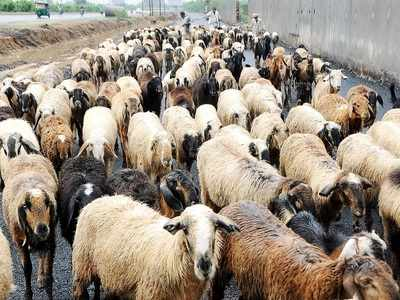 'Seized sheep, goats put up for sale': NGO accused of fraud