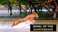 International Tiger Day 2021: Demystifying the tigers of the Sundarbans