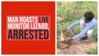On cam: Man roasts live monitor lizard, arrested