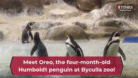 Meet Oreo, the four-month-old Humboldt penguin at Byculla zoo!