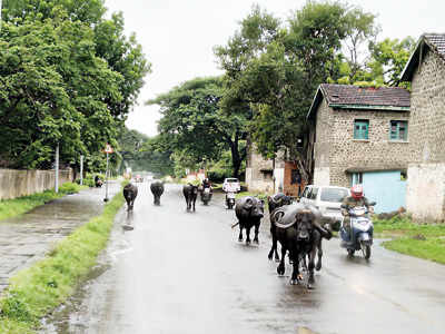 Cattle, commuters at crossroads in Khadki