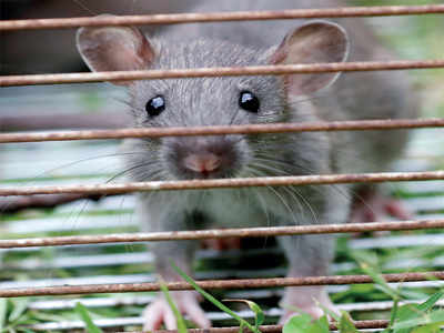 Rats! So that's causing Bengaluru's power outages