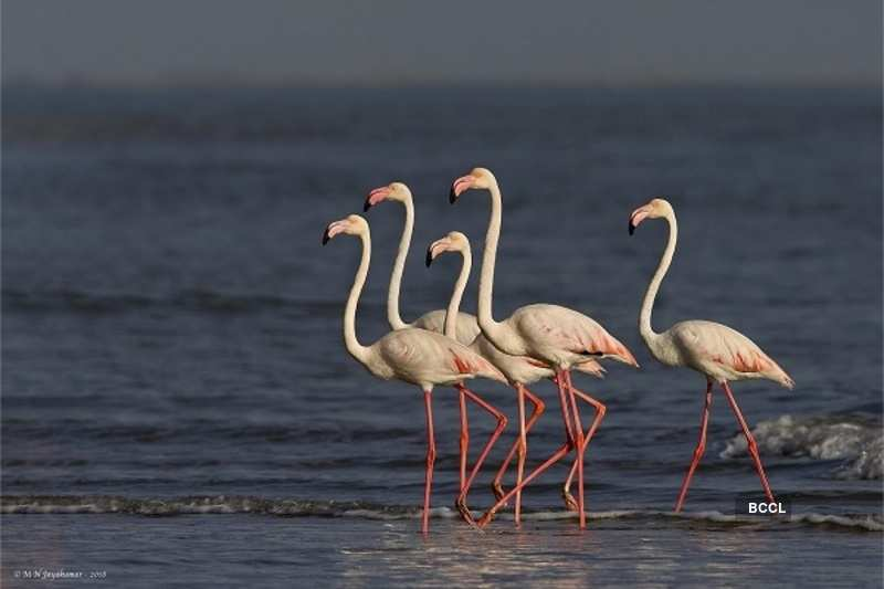 Flamingos go in herd
