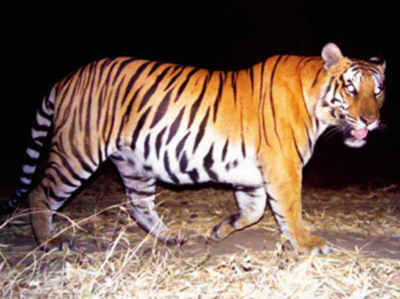Flawed research method puts 30 per cent tiger rise in doubt