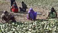 Rajasthan: Tendu leaves growers get means of livelihood back amid lockdown 4.0