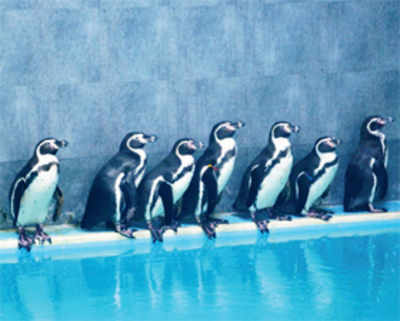 Get ready for a peek at penguins at Byculla zoo