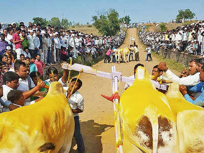 Spoke in wheels of bullock cart races after trenches dug on Nagapur tracks