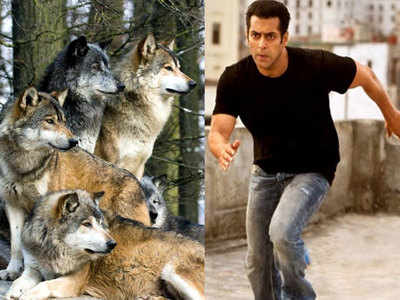 Salman Khan to fight a pack of wolves for action sequence of Tiger Zinda Hai