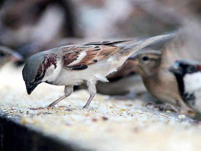 Sparrows are shunning cities, moving to the country instead