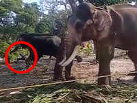Watch: Kerala man gets too close for comfort, whacked and gored by elephant