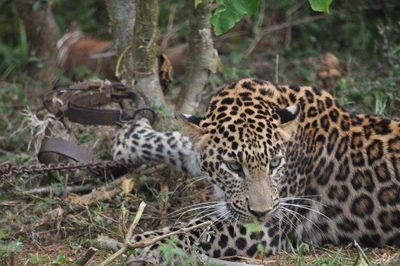 Leopard barges into Rajkot zoo, kills deer