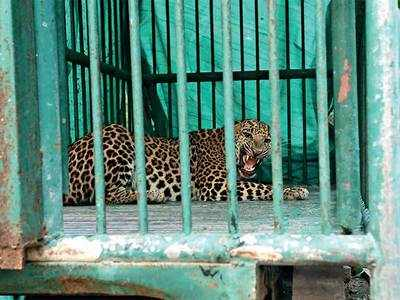 Sachivalaya leopard moved to Junagadh