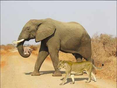 Kruger National Park: An elephant, a lioness, a cub and an April Fool's joke