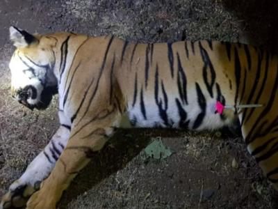 'Man-eater' tigress Avni shot dead in Maharashtra