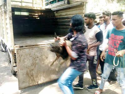 PMC manhandles pigs, locals object