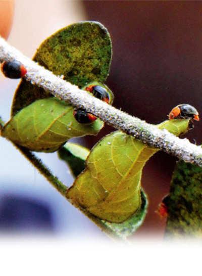 Beetles Live!