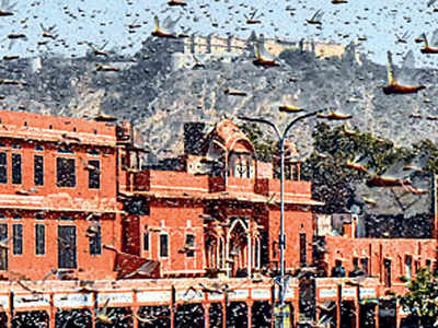 Locust swarms attack crops in Maha, other states