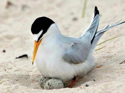 US bird ready to fly off endangered list