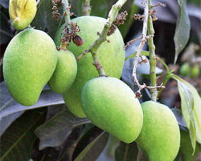 Showers to rain on mango lovers' parade