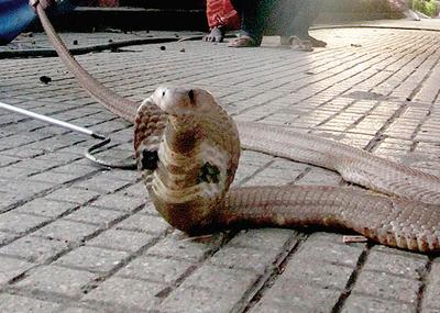 Snake-catcher dies in Karnataka's Nanjangud