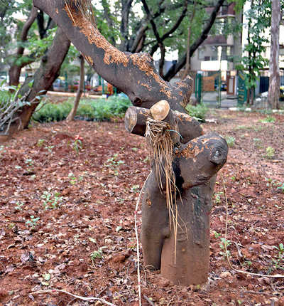 Transplanted trees wilt away