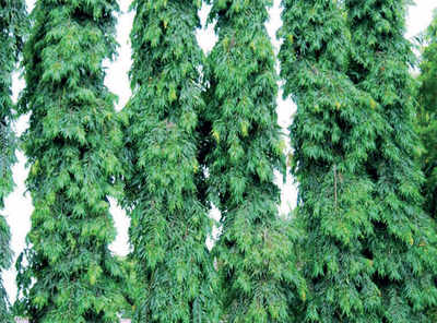 The greenskeeper: The towering Mast Tree