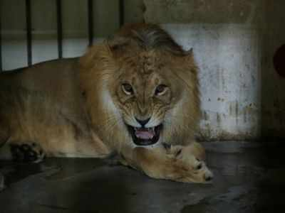 Two lions board Guwahati express, travel for 64 hours